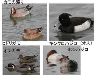 鴨とその繁殖