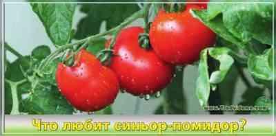 Verliocaトマト品種