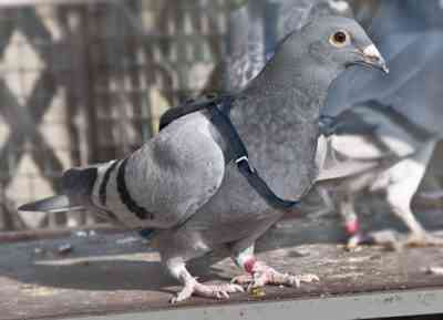 バクー鳩の特徴