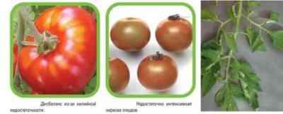 結実中にトマトを養う方法