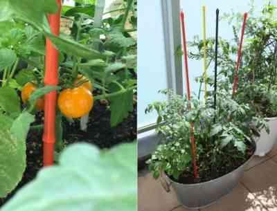 バルコニーで育つトマト