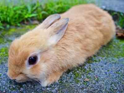 世界で最大かつ最小のウサギ