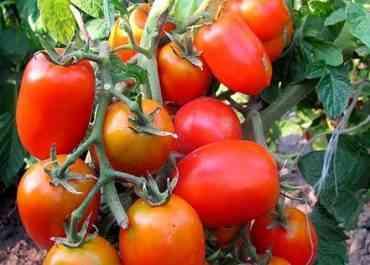 トマトPerfectpil f1