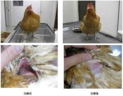 鶏の羽の原因と治療法