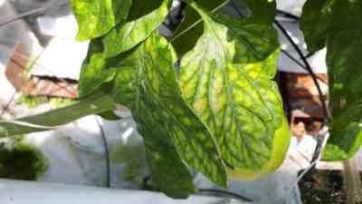 温室のトマトで葉が病気になり黄色になるのはなぜですか