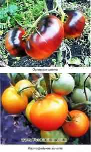 トマト品種リドルネイチャーの特徴