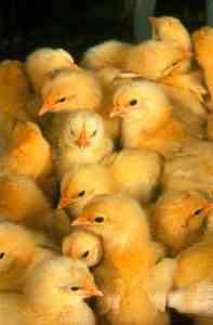 鶏の性別を決定する方法