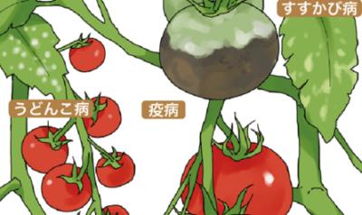 植える前にトマトの種子を浸すためのルール