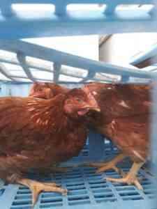 最も多くの卵を運ぶ鶏の品種