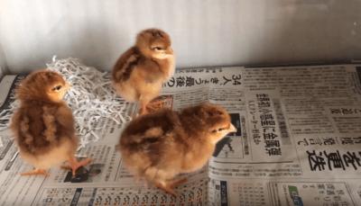 幼いころに鶏を飼う