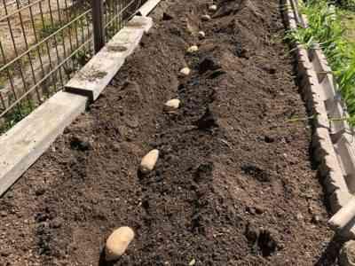 ジャガイモの苗を植える方法