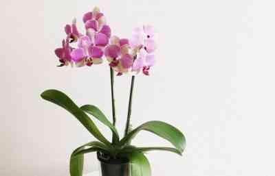 家庭での蘭の開花期