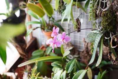 成長するミルトニア蘭の特徴