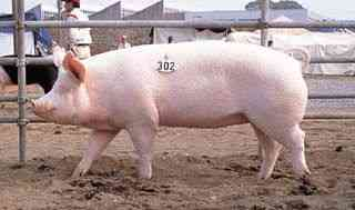 ヨークシャー豚の品種の特徴