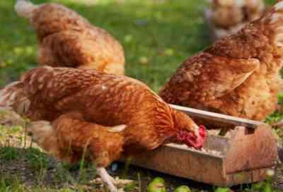 産卵鶏とその種の脱皮