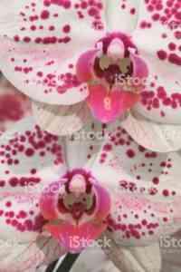 斑点を付けられた蘭の説明