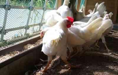 鶏の人気のある卵の品種