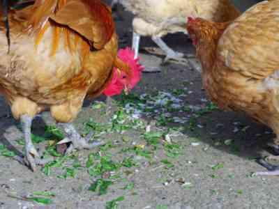毎日給餌される鶏は何ですか