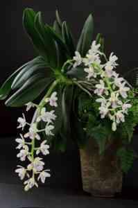 Cedirea Yaponikaの説明と栽培