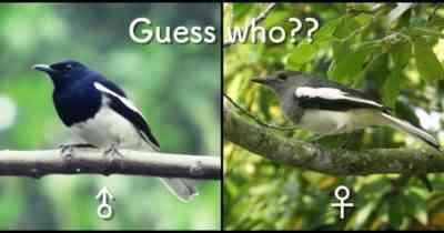 戴冠鳩の特徴