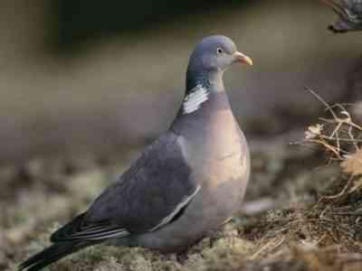 装飾的な鳩の品種