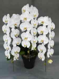 成長する白い胡蝶蘭