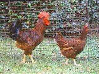 肉卵鶏の品種