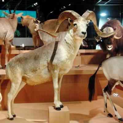 アルガリ-絶滅危惧種の山羊