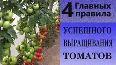 トマトの苗を移植するためのルール