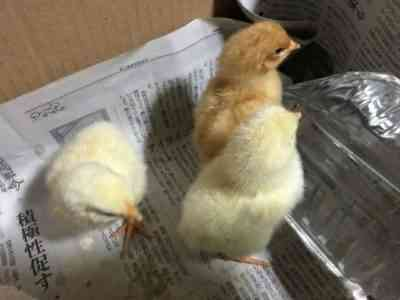 鶏卵の孵化方法