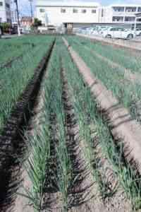 ネギの収穫と保存のルール