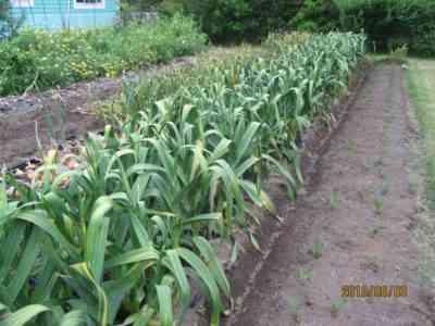 シベリアでニンニクを植える方法