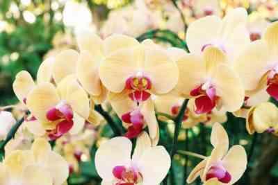蘭と胡蝶蘭の違い