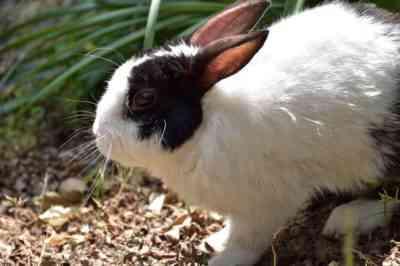 灰色の巨大ウサギの品種の特徴は何ですか
