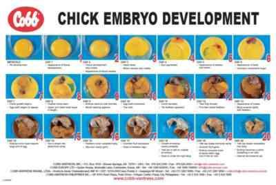 鶏の卵からの孵化の特徴