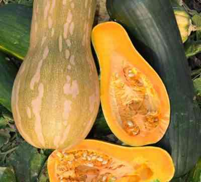 ナツメグカボチャの最も人気のある品種