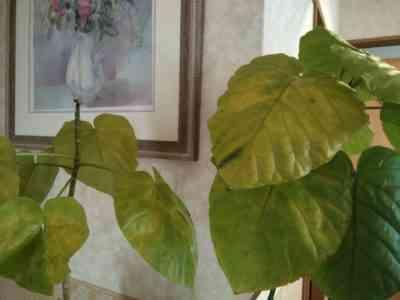 葉が黄色く乾燥する:原因、治療