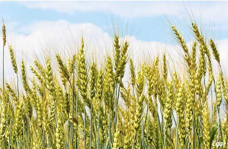 オーツ麦、カロリー、利点と害、利点