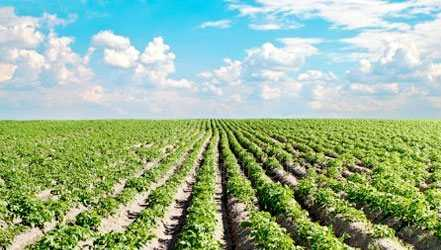 ジャガイモ, カロリー, 利点と害, 有用な特性