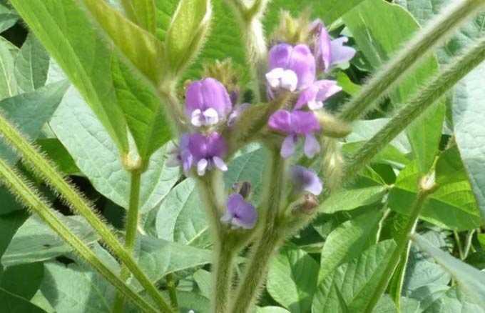 実りのある植物としての大豆の生産性