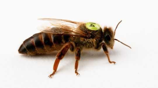 Buckfastのミツバチの品種の説明、なぜ養蜂家の間で需要があるのですか?