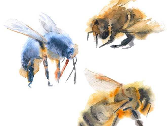 カルパチア種のミツバチ:コンテンツの特徴