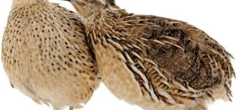 キジの卵、カロリー、利点と害、有用な特性