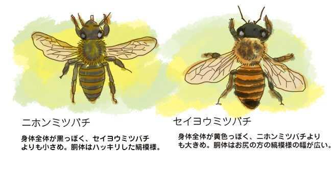 ミツバチの品種とさまざまな種類のミツバチの特徴