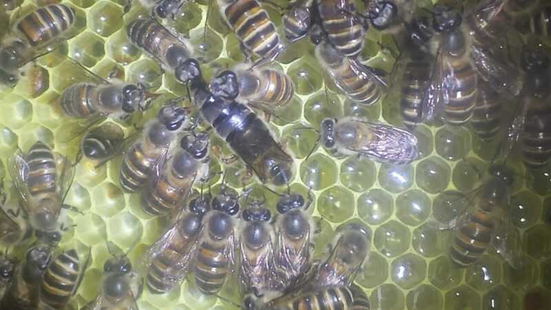 ミツバチの春の監査を実施します