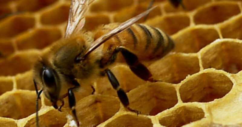 ミツバチの群れ:主な原因とそれを回避する方法