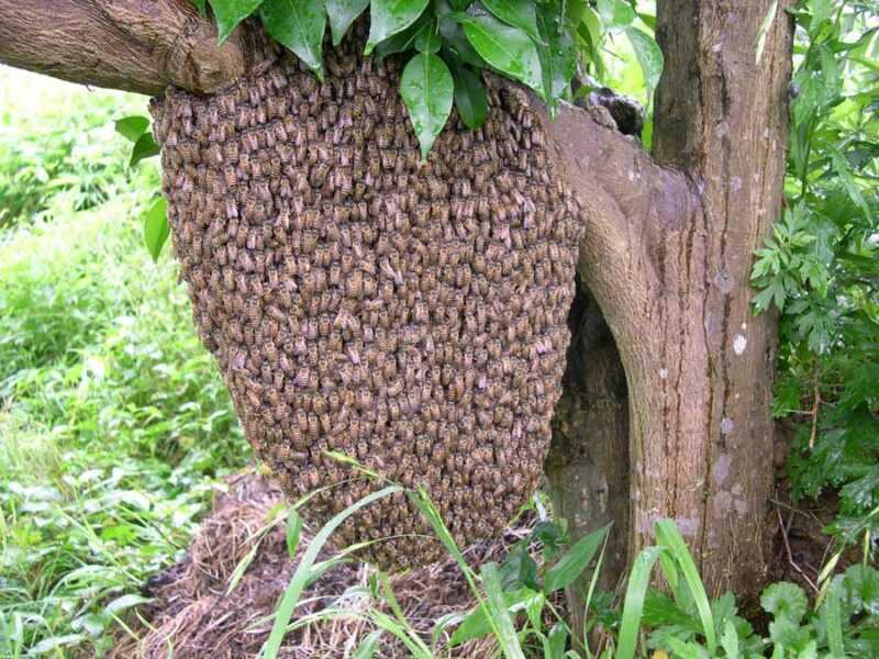 ミツバチの群れ:捕まえる方法と誘惑する方法