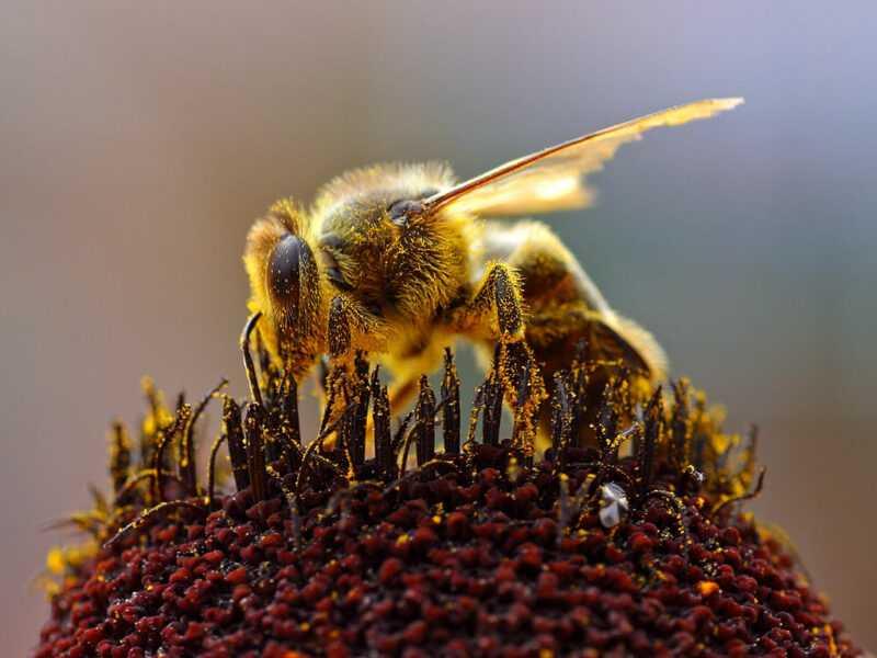 ミツバチは誰ですか?