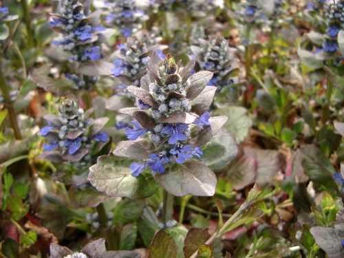 実り多い植物としてのヒメムラサキ