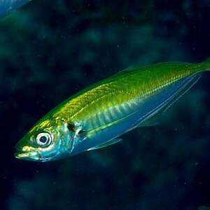 鯉, カロリー, 利点と害, 有用な特性